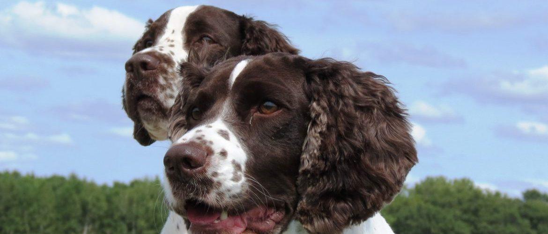 Two dogs posing in field