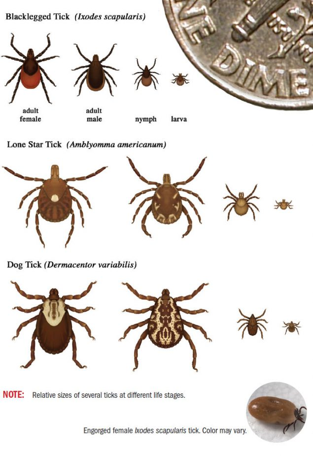 Overview of tick lifestages from the Centers for Disease Control and Prevention.