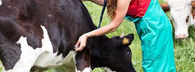 Veterinarian examining a cow