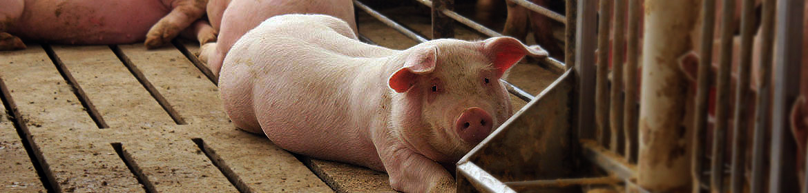 Swine | Minnesota Board of Animal Health